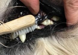 filova tanden hond