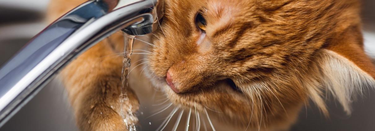 Filova katten en hun drinkgedrag