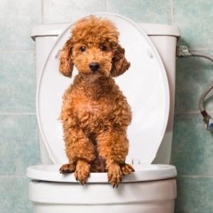 Een gezonde dunne darm van de hond
